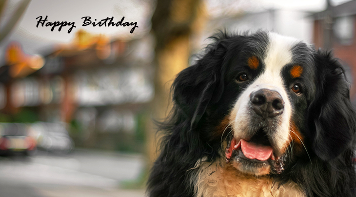 happy birthday wishes, birthday cards, birthday card pictures, famous birthdays, bernese mountain dog, animal,