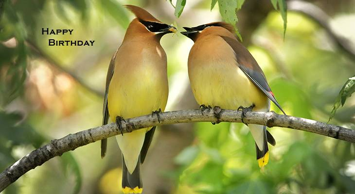 happy birthday wishes, birthday cards, birthday card pictures, famous birthdays, yellow birds, cedar waxwing, wild birds