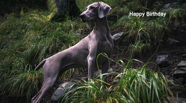 happy birthday wishes, birthday cards, birthday card pictures, famous birthdays, grey dog, grey ghost, weimaraner, animal, forest