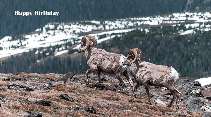 happy birthday wishes, birthday cards, birthday card pictures, famous birthdays, wild animals, mountain sheep