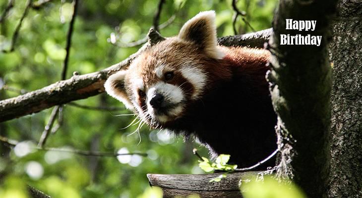 happy birthday wishes, birthday cards, birthday card pictures, famous birthdays, red panda, wild animals