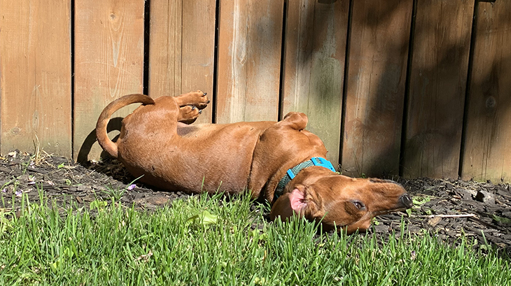 mini dachshunds, red dachshund, digging dogs, pets, small dogs