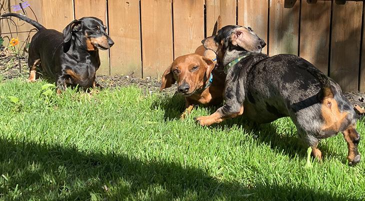 mini dachshunds, dapple dachshund, digging dogs,pets, small dogs