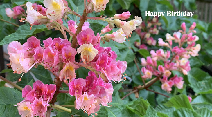 happy birthday wishes, birthday cards, birthday card pictures, famous birthdays, red flowers, pink blossoms, ruby red horse chestnut, flowering tree