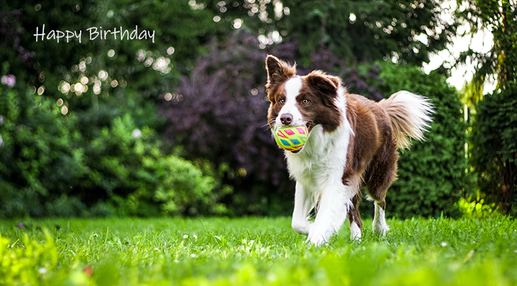 happy birthday wishes, birthday cards, birthday card pictures, famous birthdays, dog, collie, green grass