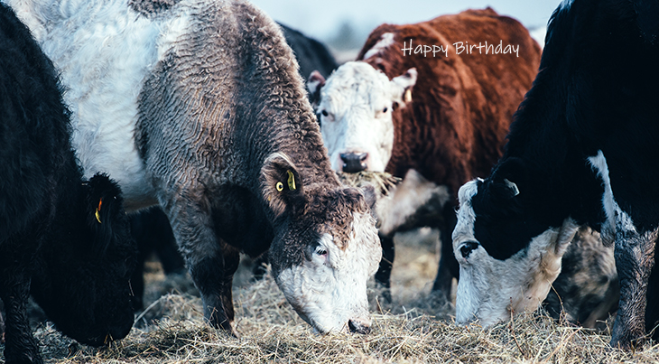 happy birthday wishes, birthday cards, birthday card pictures, famous birthdays, cattle, cows, bulls, white face, farm animals