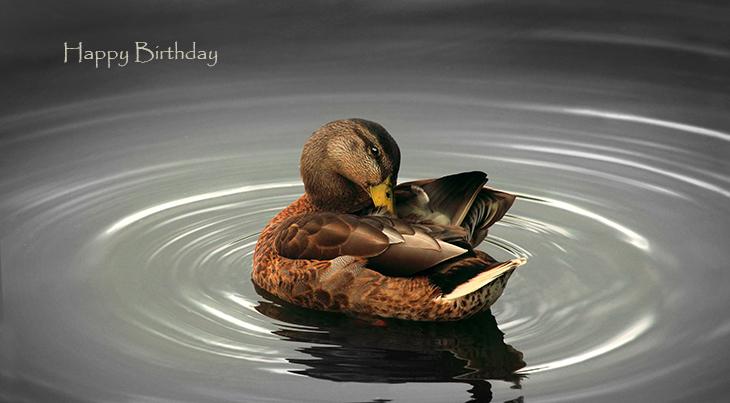 happy birthday wishes, birthday cards, birthday card pictures, famous birthdays, brown, wild bird, duck,