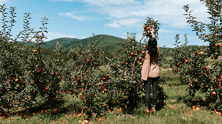 apple picking, eat local, buy local, locally sourced products, environmentally friendly, apple orchard, hendersonville, north carolina