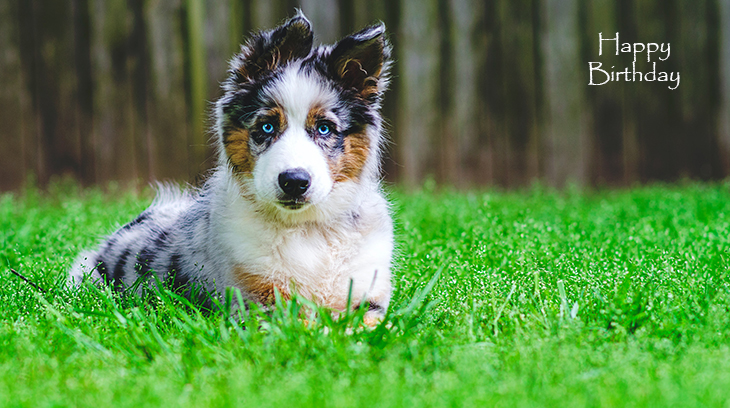 happy birthday wishes, birthday cards, birthday card pictures, famous birthdays, puppy, collie, dog, baby animal