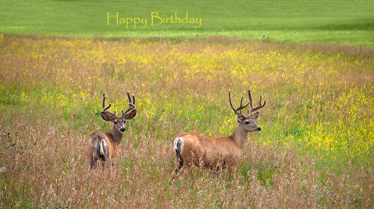 happy birthday wishes, birthday cards, birthday card pictures, famous birthdays, deer, summer, meadow, field, antlers