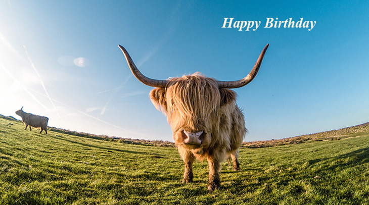 happy birthday wishes, birthday cards, birthday card pictures, famous birthdays, animal, cow, highland, scottish, cattle, nature, green grass, blue sky