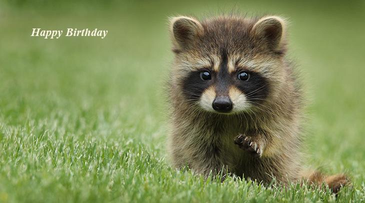 happy birthday wishes, birthday cards, birthday card pictures, famous birthdays, raccoon, wild animal, baby animals, green, grass, nature
