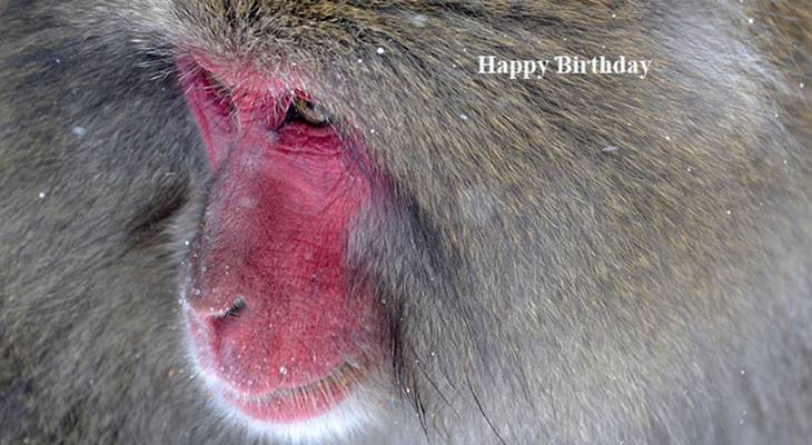 happy birthday wishes, birthday cards, birthday card pictures, famous birthdays, baboon, wild animal, primate, monkey, red face