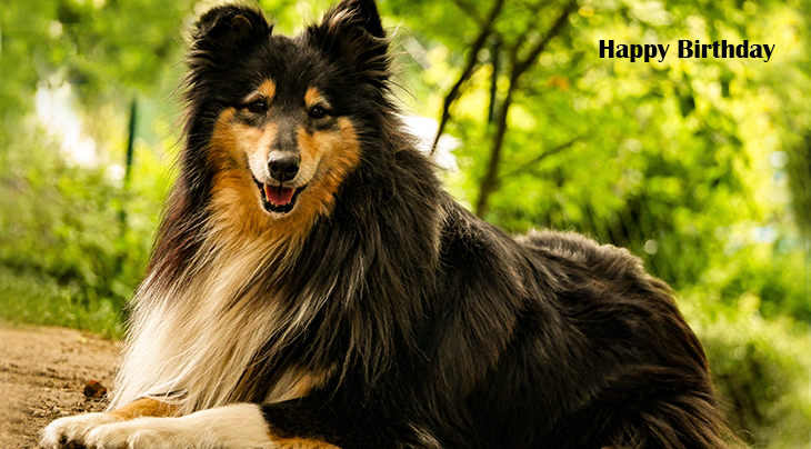 happy birthday wishes, birthday cards, birthday card pictures, famous birthdays, dog, collie, nature