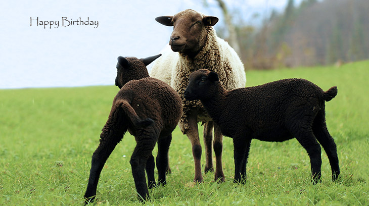 happy birthday wishes, birthday cards, birthday card pictures, famous birthdays, lambs, sheep, baby animals, farm animals, ewe