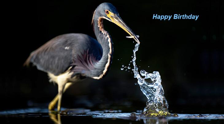 happy birthday wishes, birthday cards, birthday card pictures, famous birthdays, wild bird, tricolored heron, easy street park, sebastian florida