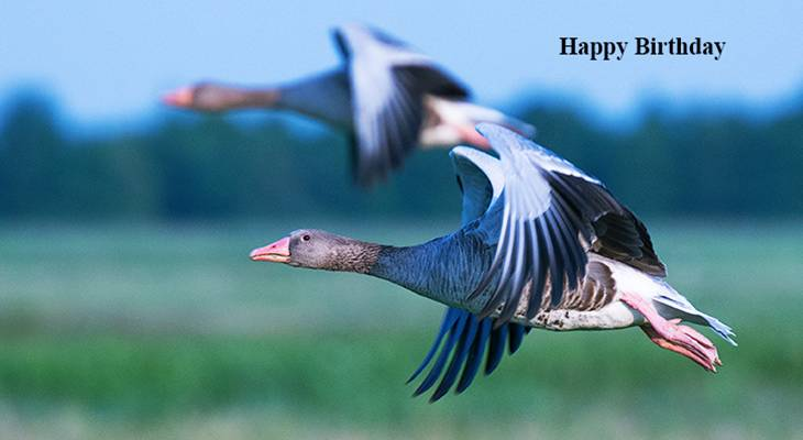 happy birthday wishes, birthday cards, birthday card pictures, famous birthdays, geese, blue, wild birds