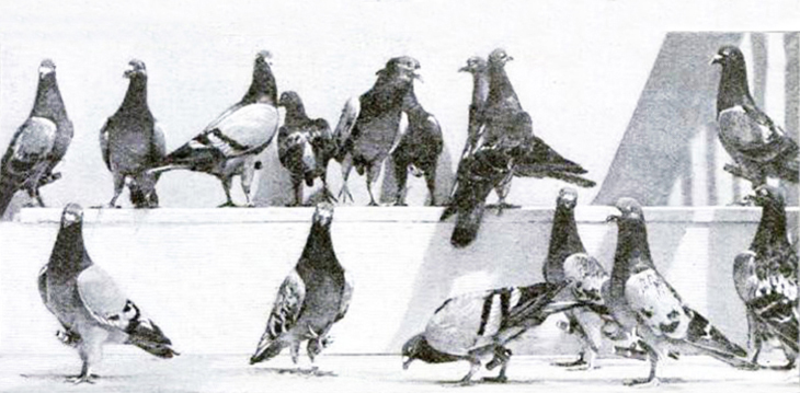 pigeons, flying corps, world war i, wwi, pigeon coop, dove cote, message delivery services, homing birds, carrier pigeons, flying messengers, flying squad, aerodrome, message pouch