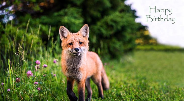 happy birthday wishes, birthday cards, birthday card pictures, famous birthdays, red fox, wild animal, fox cub, nature