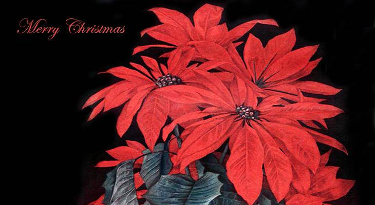 christmas card, poinsettias, american artist, paul de longpre, magazine cover, illustrations, ladies home journal, 1910, illlustrator, painter, paintings, red flowers, merry christmas