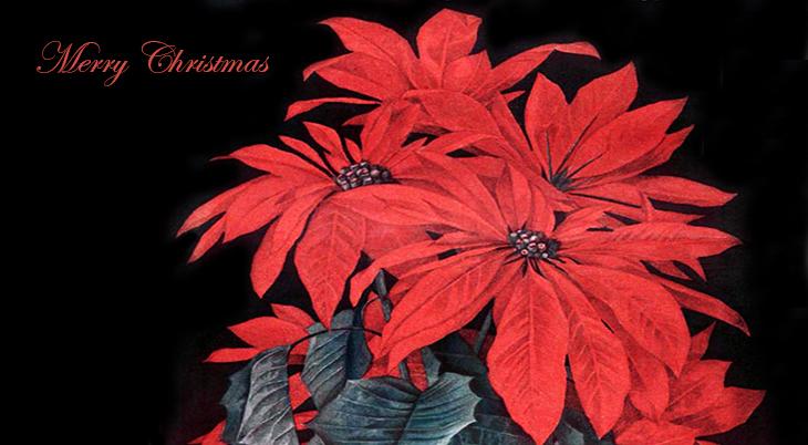 christmas card, poinsettias, american artist, paul de longpre, magazine cover, illustrations, ladies home journal, 1910, illlustrator, painter, paintings, red flowers, merry christmas