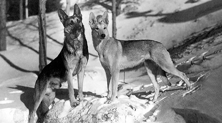 strongheart, 1924, movie dog, silent films, german shepherd, lady jule, police dog, laurence trimble movies, the love master, animal actors, silent movie stars,
